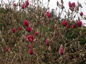 Magnolia 'Ians Red'
