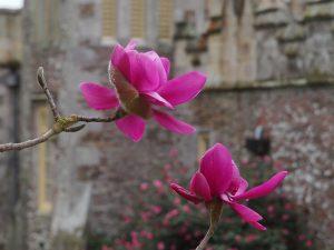 true Magnolia 'Lanarth'