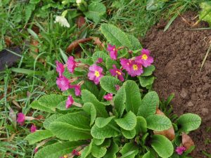 first coloured primrose