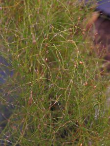 Restio-Rhodocoma capensis