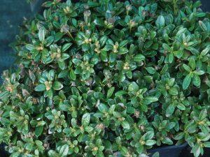 Rhododendron calostrotum subsp riparium Nitens
