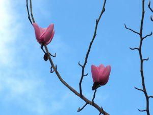 Magnolia campbellii 'Lamellyn'