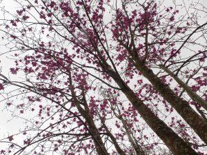 Magnolia 'Lanarth' hybrid