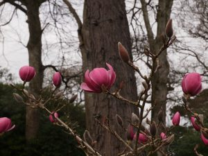 Magnolia 'Brixton Belle'