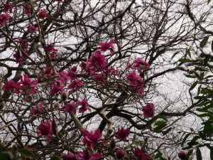 original and true Magnolia 'Lanarth'