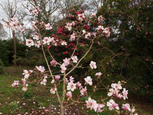 Magnolia 'Susannah van Veen'