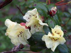 Rhododendron Golden Orieole var 'Talavera'
