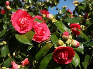 Camellia japonica 'Grand Slam'