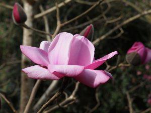 Magnolia 'Philip Tregunna'