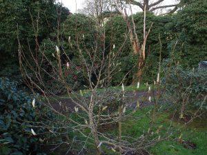 Magnolia 'Pickards Stardust'