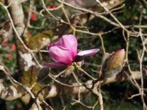 Magnolia sprengeri var 'Diva'