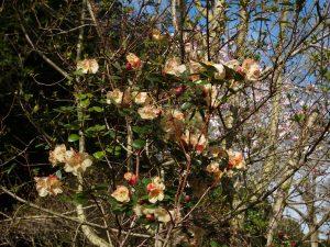 Rhododendron Golden Oriole var 'Busaco'
