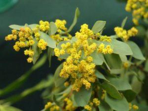 Acacia potaczeki