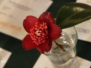Camellia 'Lipstick'