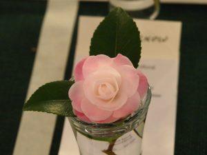 Camellia 'Sweet Jane'