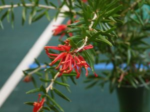 Grevillea williamsonii