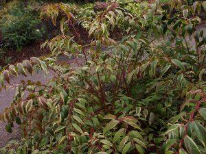 Leucothoe fontanesiana Whitewater 'Howw'