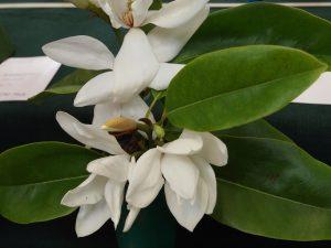 Magnolia (Michelia) maudiae