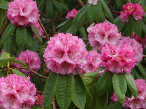 Rhododendron Nimrod Group