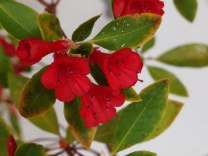 Rhododendron vialii