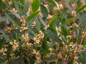 Phillyrea angustifolia