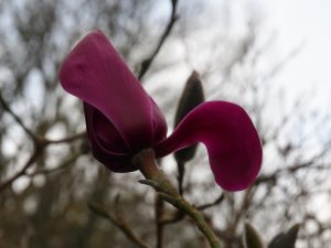 Magnolia 'J C Williams'