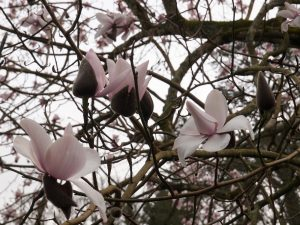 Magnolia campbellii alba seedling