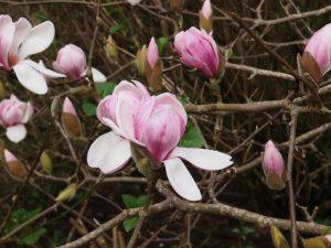 Magnolia denudate 'Forrest Pink'