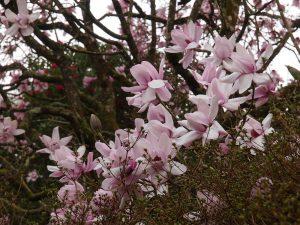 Magnolia mollicomatas
