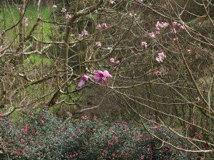 Magnolia veitchii seedling