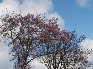 magnolias beside the newly restored old hunt kennels