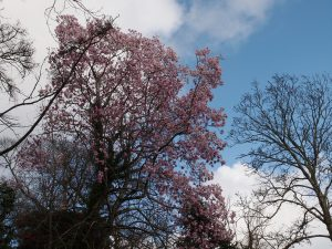 more magnolias