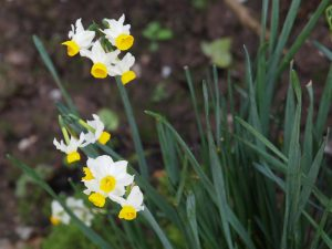 tiny flowered narcissi