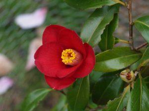 Camellia japonica 'Adeyalia'