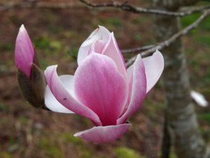 Magnolia 'Big Dude'