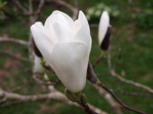 Magnolia 'Tina Durio'