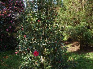 Camellia reticulata 'Captain Rowes'