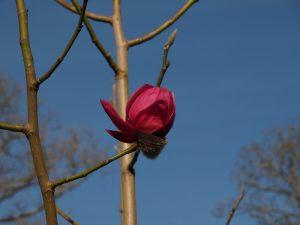 Magnolia campbellii 'Darjeeling'