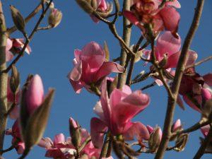 Magnolia 'Sweetheart'