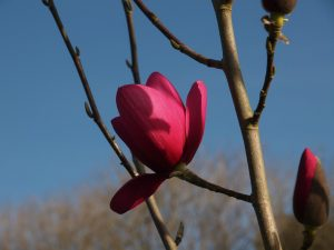 Magnolia [to look up]