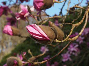 Magnolia 'Delia Williams'