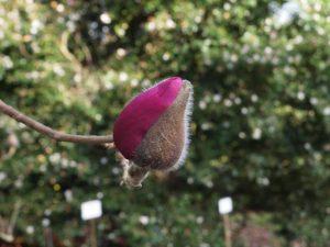 Magnolia 'Lanarth' (New Zealand form)