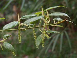 Acer sikkimensis