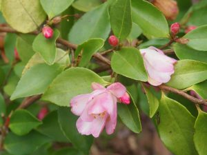 Camellia 'Alpen Light'