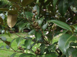 Castanopsis concolor