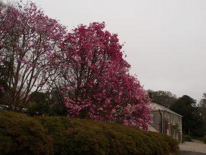 Magnolia sprengeri 'Burncoose'