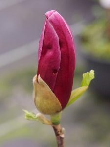 Magnolia lilliflora 'Holland Red'