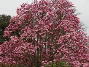 Magnolia 'Kews Surprise'