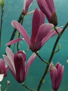 Magnolia 'Royal Crown'