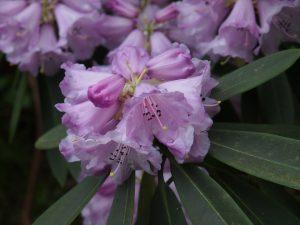 Rhododendron davidii
